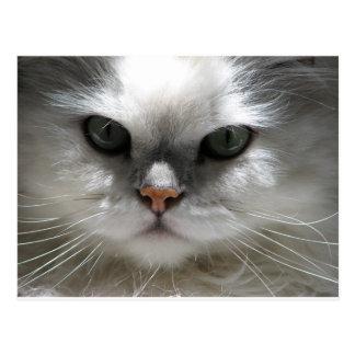 Chinchilla Persian Cat Postcard