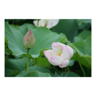 Chinese Water Lily Bud & Bloom Flowers Poster
