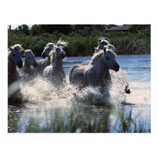 Chintoteague Ponies Crossing Channel Postcard