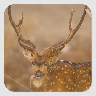 Chital or Cheetal, Spotted Deer, male grazing Square Sticker