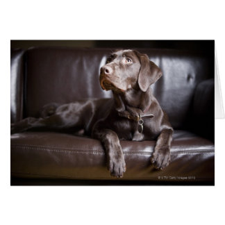 Chocolate Labrador Retriever Greeting Card