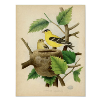 Classic Zoological Etching - American Goldfinch Poster