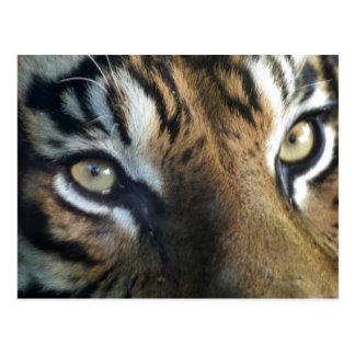 Close up of an adult male Sumatran Tiger Postcard
