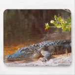Close up of an american alligator at the J.N. Mouse Pad