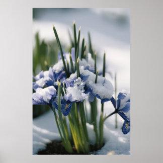 Close-up of Iris Poster