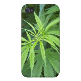 Close-Up View Of Marijuana Plant, Malkerns iPhone 4 Cases