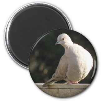 Collared Dove Magnet