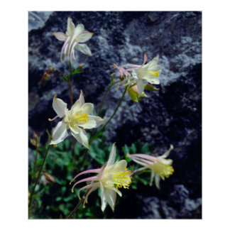 Columbine Wildflowers in the Sierras Poster