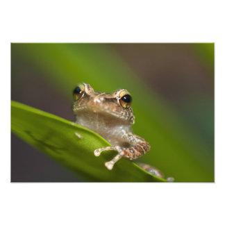 Common coqui, Eleutherodactylus coqui, El Photographic Print