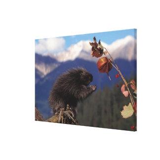 Common porcupine eating Alaskan high brush Canvas Prints