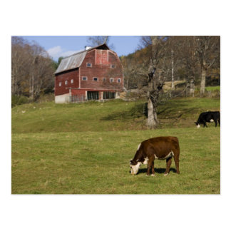 Cows on a farm in West Fairlee, Vermont. Blood Postcard