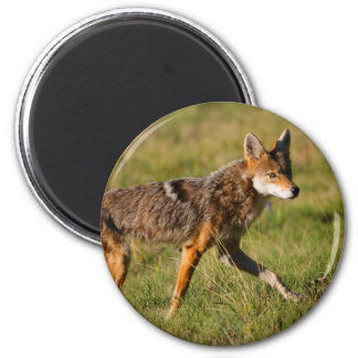 coyote 6 cm round magnet