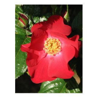 Crocus Shrub Rose 223 Postcard