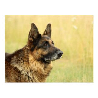 Cute German Shepherd  Postcard