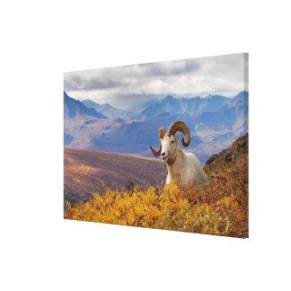 dall sheep, Ovis dalli, ram resting on a Gallery Wrap Canvas
