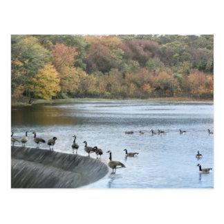 Dam Geese Postcard
