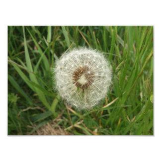 Dandelion Photo