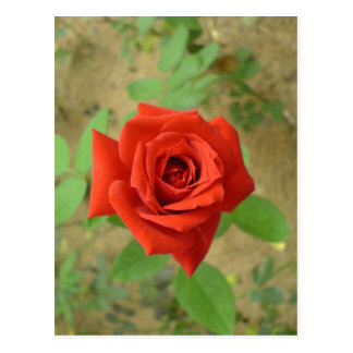 Description Photograph of a rose. self-made Date A Postcard
