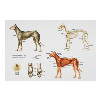 Dog Anatomy Poster Muscles and Bones