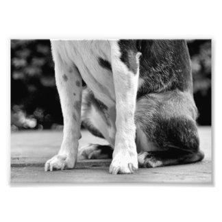 Dog Sit Boston Terrier Photograph