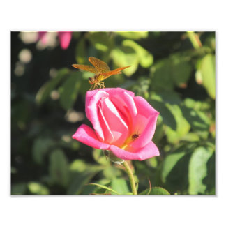 Dragonfly and Ladybug on Pink Rose Art Photo