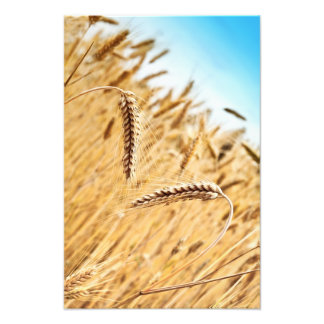 Ears Of Golden Wheat Against Wheat Field Art Photo