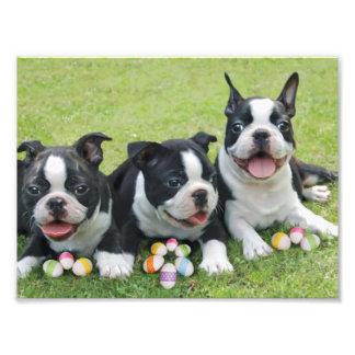 Easter Boston terriers Art Photo