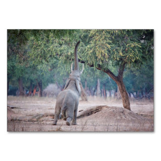 Elephant reaching for Acacia tree Table Card