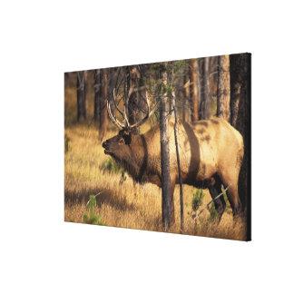 elk, Cervus elaphus, bull bugles in a burnt out Gallery Wrap Canvas