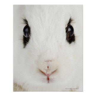English rabbit (Oryctolagus cuniculus) Poster