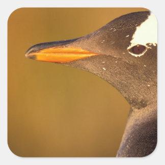 Falkland Islands. Gentoo Penguins. (Pyroscelis Square Sticker