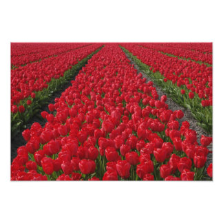 Flower field of tulips, Netherlands, Holland Photo