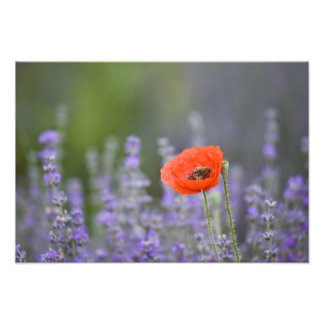 France, Provence. Lone poppy in field of Photograph