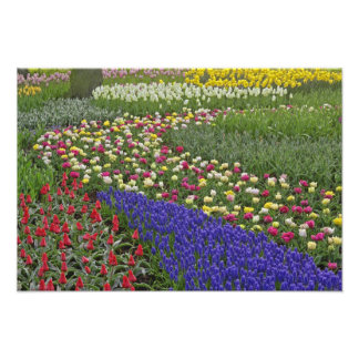 Garden design of Grape Hyacinth, and tulips, Photo Print