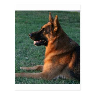 "German Shepherd at sunset - ""Zamp"" Postcard"