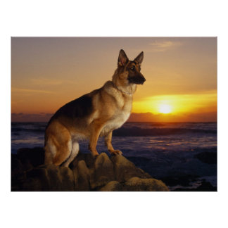 German Shepherd dog, Alsatian, at sunset Poster