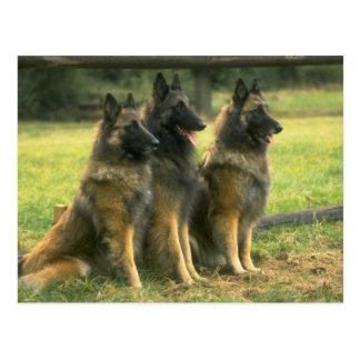 German Shepherd Dogs Postcard
