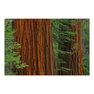 Giant Sequoia trunks in forest, Yosemite Poster