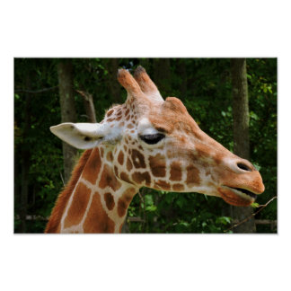 Giraffe Right Face Poster