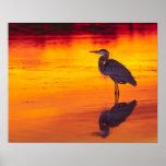 Great Blue Heron (Ardea herodias) fishing at Poster