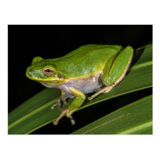 Green Tree Frog (Hyla cinerea) 2 Postcard