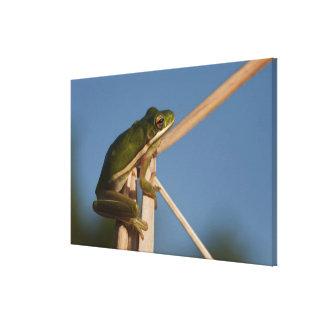 Green Tree Frog Hyla cinerea) Little St Canvas Prints