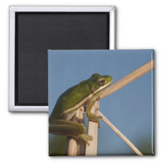 Green Tree Frog Hyla cinerea) Little St Square Magnet