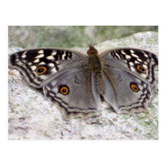Grey Butterfly Colour Image - Postcard