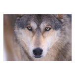 grey wolf, Canis lupus, close up of eyes in Art Photo