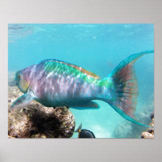 Hanauma Bay Hawaii Parrot Fish Poster