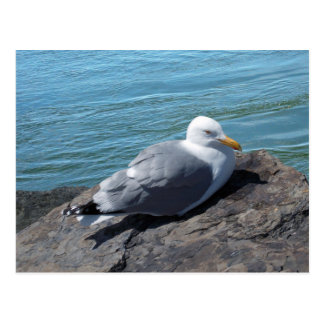 Herring Gull on Rock Jetty Postcard