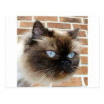 Himalayan cat photo with blue eyes postcard