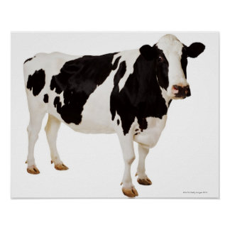 Holstein cow (Bos taurus) Poster