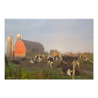 Holstein dairy cows outside a barn at sunrise photo print